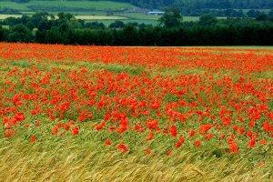 赤いケシの花畑